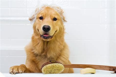 golden retriever grooming guide golden retriever grooming tips the golden retriever network