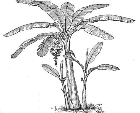 coloring page banana tree banana tree vector banana tree cliparts