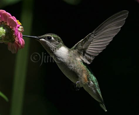 ruby throated hummingbirds waukesha wisconsin september 4