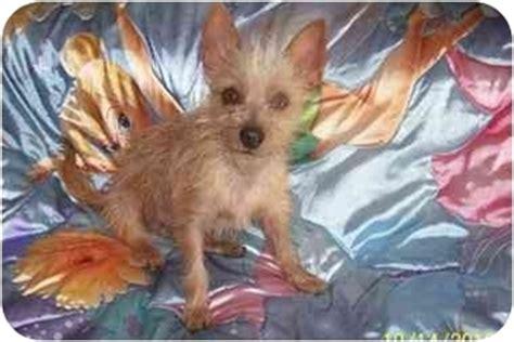 crested yorkie blondie adopted west los angeles ca yorkie terrier