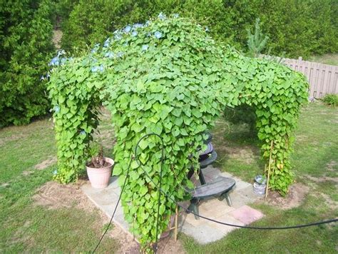 15 Beautiful Climbing Plants for Pergola and Arbors That