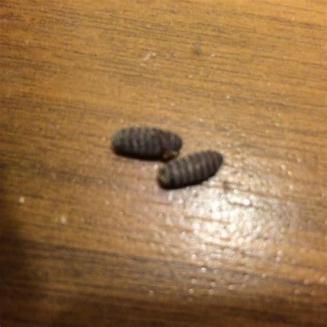 braune larven in der wohnung eier bzw larven in der k 252 che gefunden insekten sch 228 dlinge