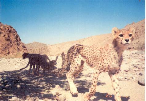 rare asiatic cheetahs pictured  iran