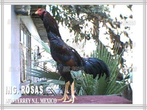 fotos de gallos de redonda click para ver gallos en venta 188 de