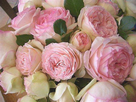 Pink Cabbage Roses Pictures, Photos, and Images for