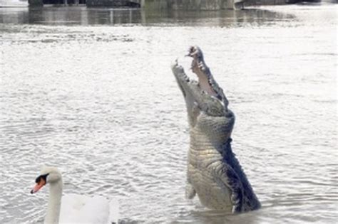 thames river animals is there a crocodile in the river thames get reading