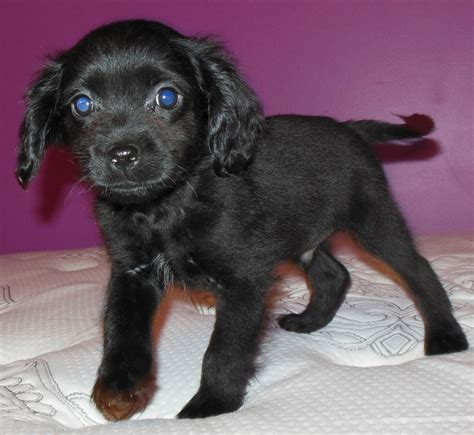 yorkie mixed with cocker spaniel cocker spaniel terrier mix www imgkid the image kid has it