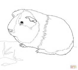 Guinea Pig Coloring Coloring