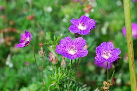 popular annual flower geranium in purple jpg hi res 720p hd