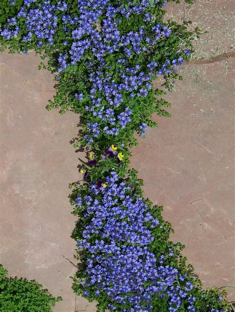 8 best early spring bloomers images on pinterest high country gardens perennial and perennial