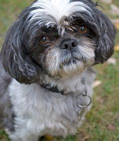 shih tzu tracheal collapse 1000 images about shih tzu on shih tzu shih tzus and problems