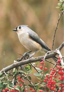 wild birds unlimited photo share tufted titmouse