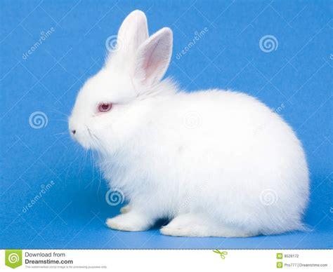 Baby Rabbit Id white baby rabbit stock photo image of ears bunnie