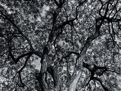 wallpaper black and white trees tree black and white background hd wallpapers 4265