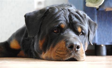rottweiler sad pin angry rottweiler photos on