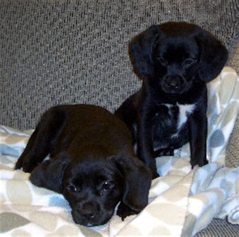 cavador puppies cavador info temperament care puppies pictures