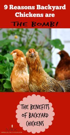 benefits of backyard chickens ameraucanas are a family friendly breed and very sweet