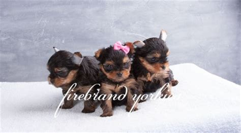how to litter a yorkie puppy firebrand yorkies litter news archives 187 page 5 of 24 187 firebrand yorkies