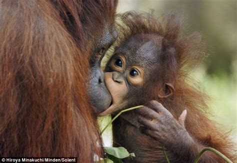 captured the moment tiny baby orangutan gently bites his