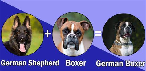 german shepherd boxer puppies most popular boxer cross breeds designer breeds