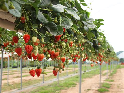 how to grow strawberries successfully strawberries