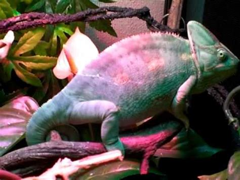 my veiled chameleon changing color