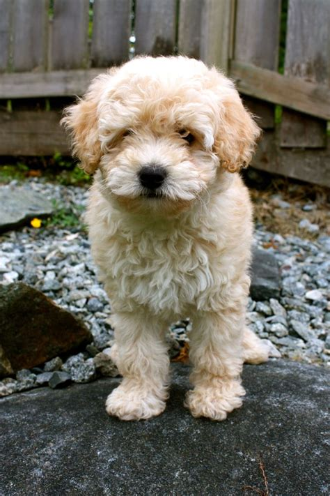 mini wheaten doodle mini whoodle wheaten terrier w mini poodle pets