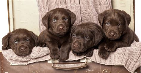chocolate lab chocolate lab your guide to the chocolate labrador retriever