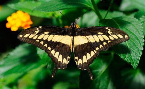 imagenes de mariposas negras grandes mariposas diurnas