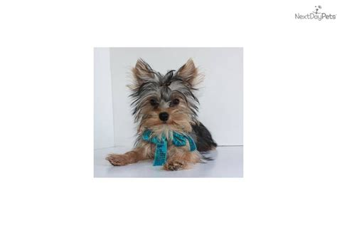 tiny teacup yorkie puppies for sale in missouri teacup terrier puppy for adoption breeds picture