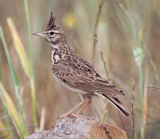 Pakan Kesukaan Branjangan sekilas info tentang burung branjangan
