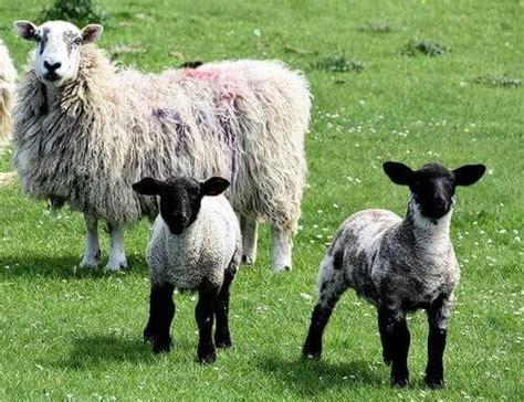alimentazione pecore consigli utili per l alimentazione delle pecore i miei