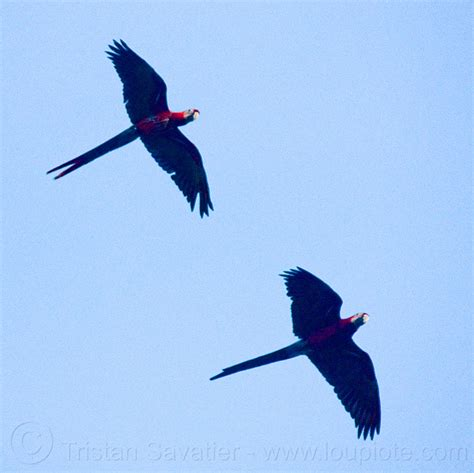 scarlet macaw parrots flying