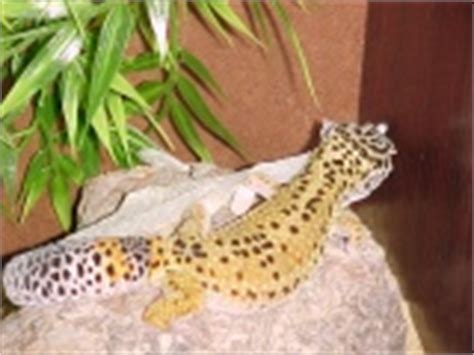 Do Geckos Shed by Leopard Gecko Shedding Photos