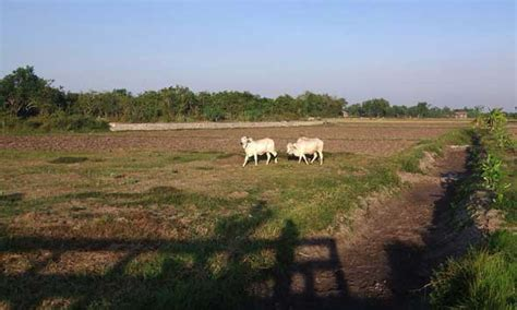 Bibit Sapi Per Ekor lagi dua ekor sapi petani sluke diembat maling berita