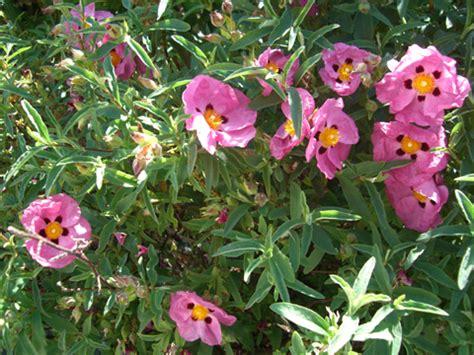 Petit Arbuste Fleuri by Ciste Cistus Plantation Taille Culture Et Entretien