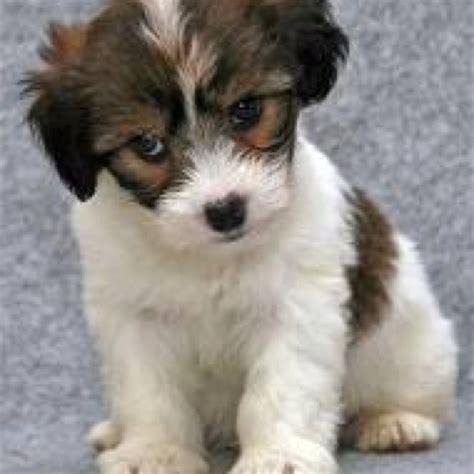 coton puppies coton de tulear puppy pets