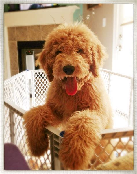 southern indiana poodle rescue labradoodle rescue california posts and labradoodle