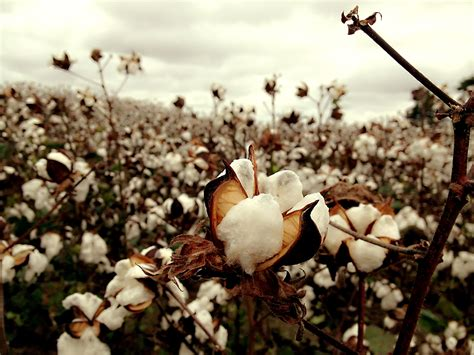 on images free stock photo of cotton field