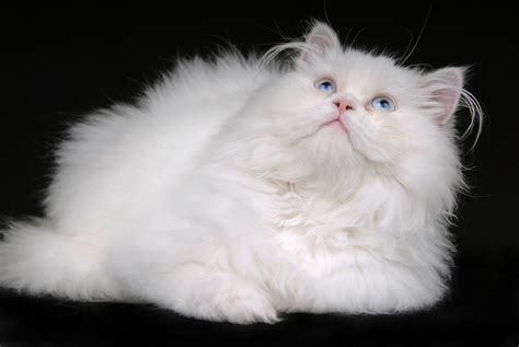 Most Expensive Cat Breeds in the World   Fetch! Pet Care
