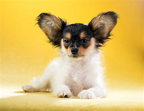 pictures of papillon dogs papillon www pixshark images galleries with a bite