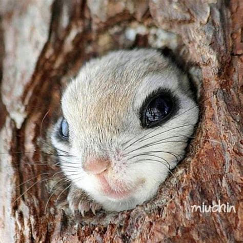 scoiattolo volante siberian flying squirrel pteromys volans by miuchin