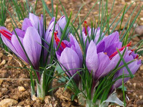 libro la flor del azafrn crocus sativus saffron crocus world of flowering plants