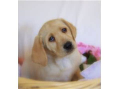golden retriever puppies for sale wausau wisconsin akc whiteivory lab puppy males in hatley breeds picture