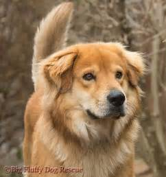 golden retriever x siberian husky 63 best golden husky mix cutest images on