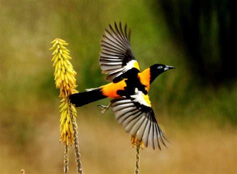 turpial ave nacional venezuela apexwallpapers com fauna venezolana tecnolog 237 a al servicio educativo