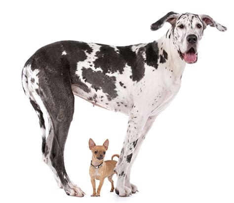 feeding a great dane puppy best food for great danes why you should be careful when feeding your