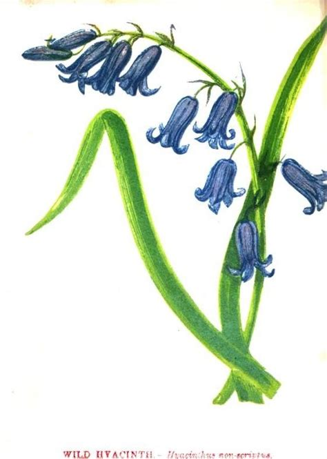 hyacinth tattoo designs hyacinth wildflower sketch