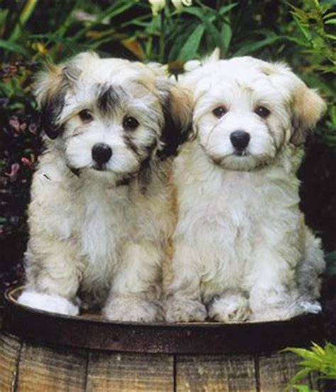 havanese breed characteristics havanese breed info pictures characteristics hypoallergenic yes bichon havanais