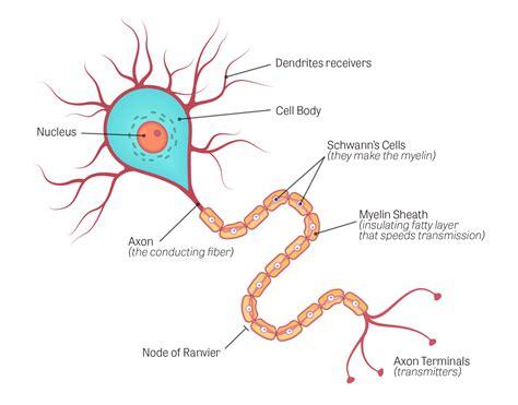 nervous system cells diagram world  reference